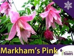 Powojnik botaniczny MARKHAM'S PINK (Clematis) Sadzonka C1
