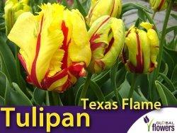 Tulipan Papuzi 'Texas Flame' (Tulipa) CEBULKI 4 szt