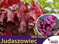Judaszowiec RED FORCE 'Minrouge3' (Cercis canadensis) Sadzonka XL- C5 60-80cm