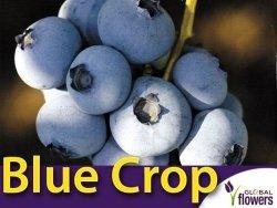Borówka Amerykańska Sadzonka 1/1,5 roczna - odmiana Blue Crop
