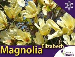 Magnolia 'Elizabeth' (Magnolia) Duża Sadzonka