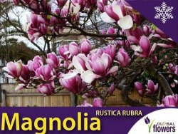 Magnolia 'Rustica Rubra' (Magnolia) Sadzonka