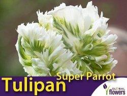 Tulipan Papuzi 'Super Parrot' (Tulipa) CEBULKI 4 szt