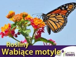 Mieszanka roślin wabiących motyle nasiona 1g