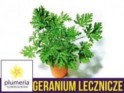 Geranium lecznicze ANGINOWIEC (Pelargonium graveolens) Roślina domowa. Sadzonka P12 - S