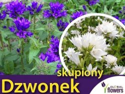 Dzwonek skupiony, mieszanka (Campanula glomerata) nasiona 0,1g