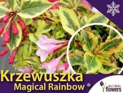 Krzewuszka cudowna 'Magical Rainbow ®' (Weigela florida) Sadzonka