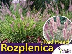 Rozplenica Piórkowa RED HEAD (Pennisetum) Sadzonka XL-C5