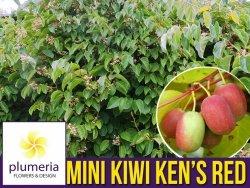 Mini Kiwi KEN'S RED ♀ (Aktinidia ostrolistna) Sadzonka C1