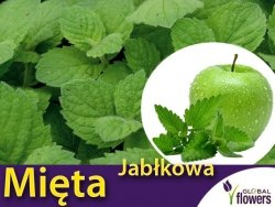 Mięta jabłkowa (Mentha suaveolens) Sadzonka C1