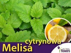 Melisa cytrynowa (Melissa officinalis) Sadzonka