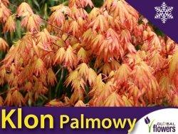 Klon Palmowy 'Katsura' (Acer palmatum) Duża Sadzonka 100-140 cm