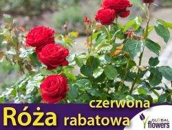 Róża rabatowa 'czerwona' (Rosa) Sadzonka w balocie