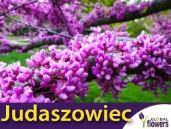 Judaszowiec Kanadyjski (Cercis canadensis) Sadzonka C1
