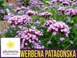 Werbena patagońska liliowa (Verbena bonariensis) Sadzonka P9
