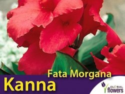 Kanna zielonolistna-niska 'Fata Morgana' (Canna x generalis) Kłącza