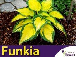 Funkia ORANGE MARMELADE (Hosta) Sadzonka C2