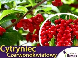Cytryniec Czerwonokwiatowy żeński (Schisandra rubriflora) Sadzonka