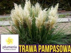 Trawa pampasowa TINY PAMPA karłowa (Cortaderia selloana) Sadzonka