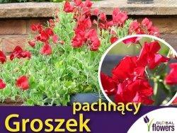 Groszek pachnący, czerwony (Lathyrus odoratus) nasiona 3g