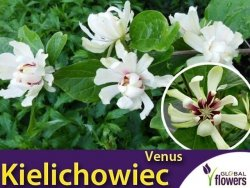 Kielichowiec 'Venus' (Calycanthus) Sadzonka XL- C5 40-60cm