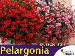 Pelargonia bluszczolistna 'czerwona' (Pelargonium peltatum) Sadzonka