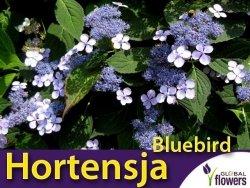 Hortensja piłkowana (Hydrangea serrata) 'Bluebird' Sadzonka