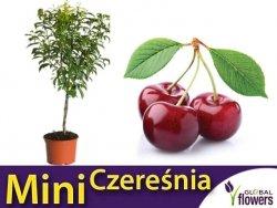 DRZEWKO OWOCOWE Mini Czereśnia (Prunus avium) Sadzonka C6
