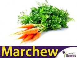 Marchew Flakkese2 Późna (Daucus carota) XL 100g