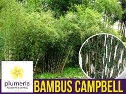 Bambus Mrozoodporny Fargesia olbrzymia CAMPBELL (Fargesia robusta) Sadzonka C2,5