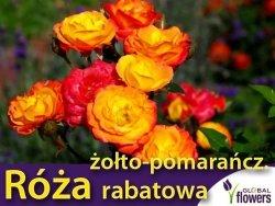 Róża rabatowa 'żółto- pomarańczowa' (Rosa) Sadzonka w balocie