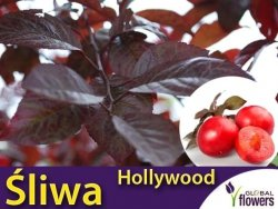 Śliwa Spencer HOLLYWOOD® (Prunus cerasifera) Sadzonka C3,5 ok 100-120cm