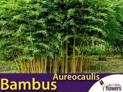 Żółty Bambus Drzewiasty AUREOCAULIS Mrozoodporny (Phyllostachys aureosulcata) Sadzonka XL-C5