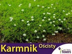Karmnik Ościsty (Sagina subulata) nasiona 0,03g