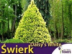 Świerk biały 'Daisy's White' (Picea glauca) Sadzonka