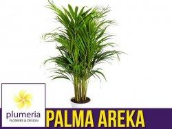 Palma AREKA (Areca) Roślina domowa. Sadzonka P9 - S