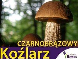 Grzybnia Koźlarz czarnobrązowy Leccinum melaneum ziarno 10g