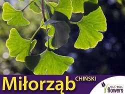 Miłorząb Chiński (Ginko biloba) Sadzonka