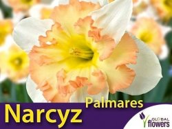 Narcyz pełny 'Palmares' (Narcissus Split Corona) CEBULKI  szt.