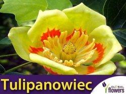 Tulipanowiec (Liriodendron tulipifera) Tulipany na drzewie 1g