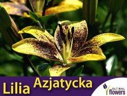 Lilia Azjatycka (lilium) Graffiti cebulka 1 szt