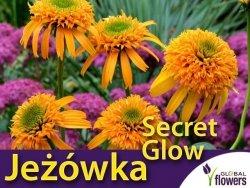 Jeżówka SECRET GLOW (Echinacea) Sadzonka C1,5