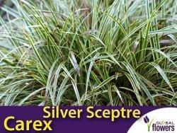 Turzyca 'Silver Sceptre' (Carex morrowii) Sadzonka