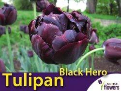 Tulipan pełny późny 'Black Hero' (Tulipa) CEBULKI 4 szt