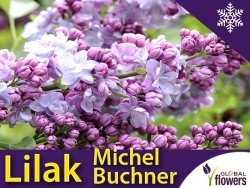 Lilak Pospolity 'Michel Buchner' (Syringa vulgaris) Sadzonka C3