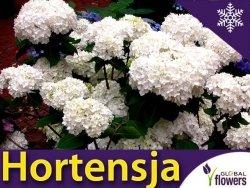 Hortensja ogrodowa biała VANILLA SKY PBR (Hydrangea macrophylla) Sadzonka C3