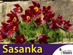 Sasanka zwyczajna Czerwona Rubra (Pulsatilla vulgaris) CEBULKA