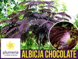 Albicja SUMMER CHOCOLATE (Albizia) Sadzonka UNIKAT ! C1