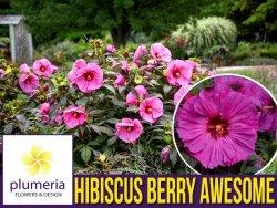 Hibiskus Bylinowy Summerific™ Ogromne Kwiaty 'Berry Awesome' Sadzonka