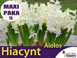 MAXI PAKA 15 szt Hiacynt Wschodni 'Aiolos' (Hyacinthus) CEBULKI 15 szt